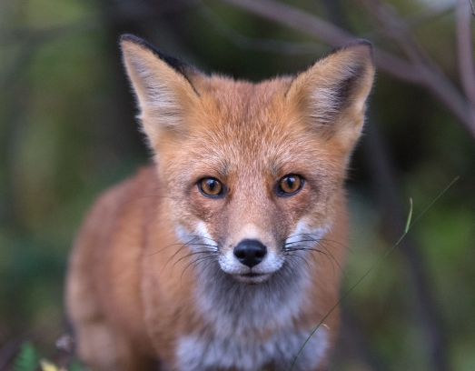 alyssa lloyd red fox ontario